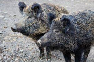Wildkühlschrank Wildschwein